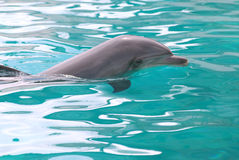 Swimming dolphin. Dolphin of profile swimming in a blue water Stock Photography