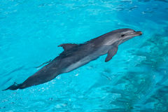 Swimming Dolphin in the Blue Water Stock Photography