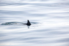 Swimming Dolphin Fin just breaks the surface of the water. Stock Photos