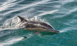 Swimming dolphin in the ocean and hunting for fish. Dolphin jumping out of the water. The Long-beaked common dolphin (scientific name: Delphinus capensis) royalty free stock photos