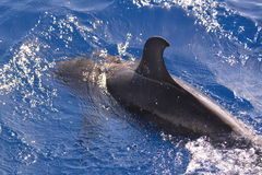 Swimming Dolphin Royalty Free Stock Images