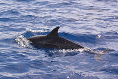 Swimming Dolphin Royalty Free Stock Photography