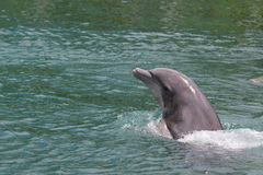 Swimming dolphin. The dolphin is swimming in the water Stock Images