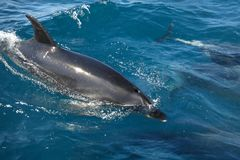 Swimming with dolphins in Bay of Islands, New Zealand royalty free stock photography
