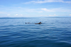 Swimming dolphins in calm sea Royalty Free Stock Photo