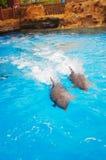 Swimming dolphn Stock Photos