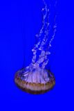 Swimming Down Jelly Fish Stock Images