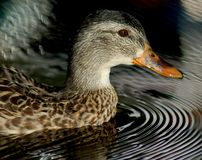 Swimming Duck. A duck swimming on a lake surrounded by water rings royalty free stock photography