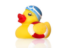 Swimming duck Stock Images