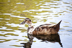 Swimming Duck Stock Image