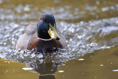Swimming duck. From front view with waves around Royalty Free Stock Photography