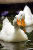 Swimming duck. A white duck swimming in the water Royalty Free Stock Photography