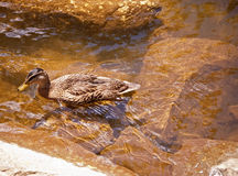 Swimming Duck Royalty Free Stock Photos