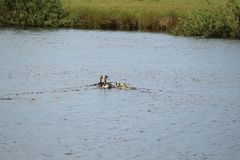 Swimming Duck Family. Duck swimming in water on a sunny day Royalty Free Stock Images