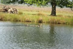 Swimming Duck Family. Duck swimming in water on a sunny day Stock Photography