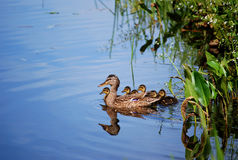 Duck family. Swimming duck family in the lake stock photo