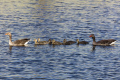 Swimming Duck Family Royalty Free Stock Photography