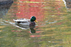Free Swimming Duck In The Rain Stock Photos - 16395913