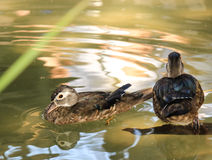 Swimming Duck. A duck swimming in the lake stock images