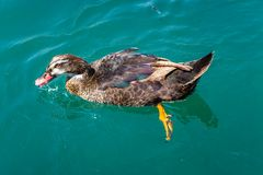 Swimming duck. A duck is swimming in the lake Stock Photography