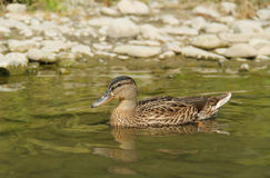 Swimming duck. Mallard duck Anas platyrhynchos swimming in the water near the bank with pebbles Stock Photo
