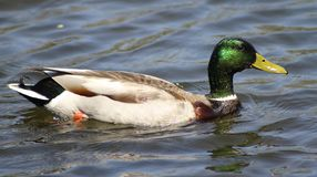 Swimming duck Stock Photography