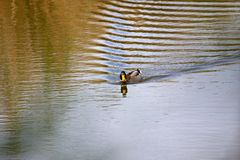 Swimming duck, Royalty Free Stock Images