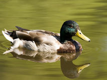 Swimming Duck In Pond Stock Image