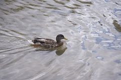 Swimming Duck Royalty Free Stock Images