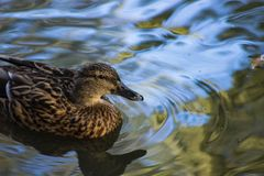 Swimming Duck. Duck swimming in a pond in Tendring Royalty Free Stock Images