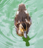Swimming duck. Small Duck Swimming. See my other works in portfolio Royalty Free Stock Image