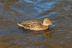 Swimming duck in water Royalty Free Stock Photography