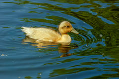 Swimming duckling Royalty Free Stock Photo