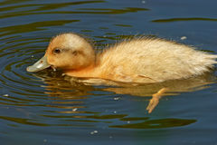 Swimming duckling Stock Photo