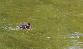 Swimming duckling royalty free stock images