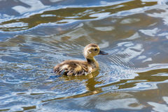Swimming Duckling Royalty Free Stock Image