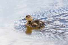 Swimming Duckling Stock Images