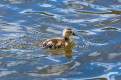 Swimming Duckling Royalty Free Stock Photography