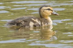 A swimming duckling with reflection Stock Image