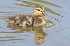A swimming duckling with reflection royalty free stock photo