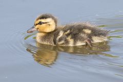 A swimming duckling with reflection stock photos