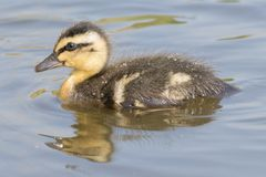 A swimming duckling with reflection Royalty Free Stock Photography