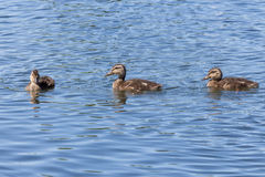 Swimming ducklings. Three duckling swimming in calm water on a sunny day Stock Photo
