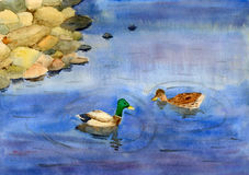 Swimming ducks Royalty Free Stock Images