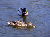Swimming ducks Stock Images