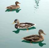 Swimming ducks Stock Photos