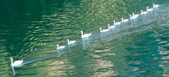 Swimming ducks. Some geese are swimming in a row Stock Photo
