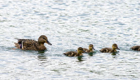 Swimming Ducks. Mother mallard duck and her babies swimming in a pond Royalty Free Stock Photos