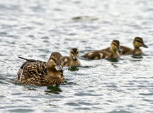 Swimming Ducks Royalty Free Stock Image