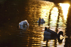Swimming Ducks. Ducks are swimming in an artificial pond, in which the sunset is reflected on the water Royalty Free Stock Photos
